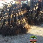 Pregatirea livrarilor de nuci altoti proaspat sositi din pepiniera.